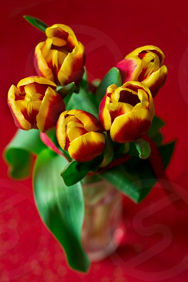 tulips flowers spring close up photo
