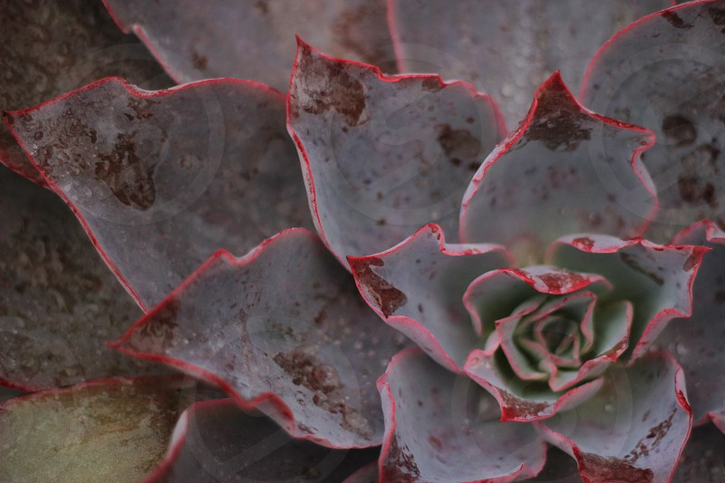 Flower Single Isolated Red Pink WallPaper Rule of Thirds Single Subject Close Up Dark Photo Blue Tint Cool Temperature Backyard One Flower Succulent   photo
