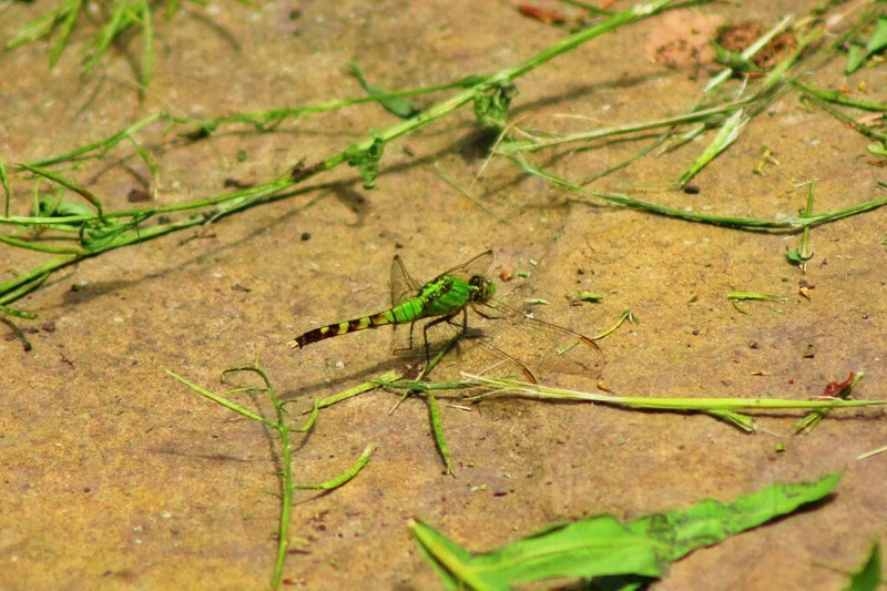green dragonfly perched on brown soil photo