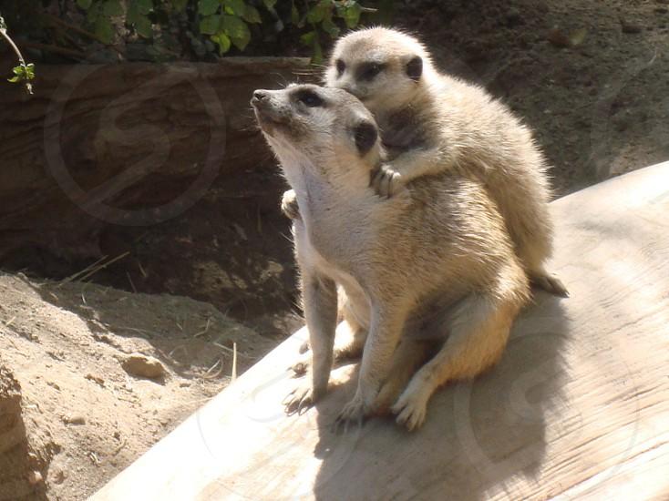 animal photography of two meerkats photo