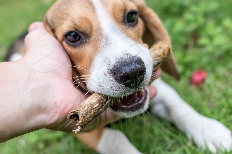 Cute puppy breed beagle dog on a natural green background. Tropical island Bali Indonesia. photo