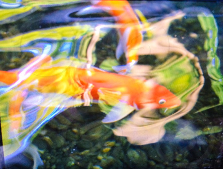 orange and white koi fish in water photo
