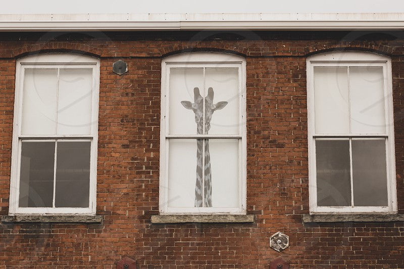 Giraffe on a window  photo