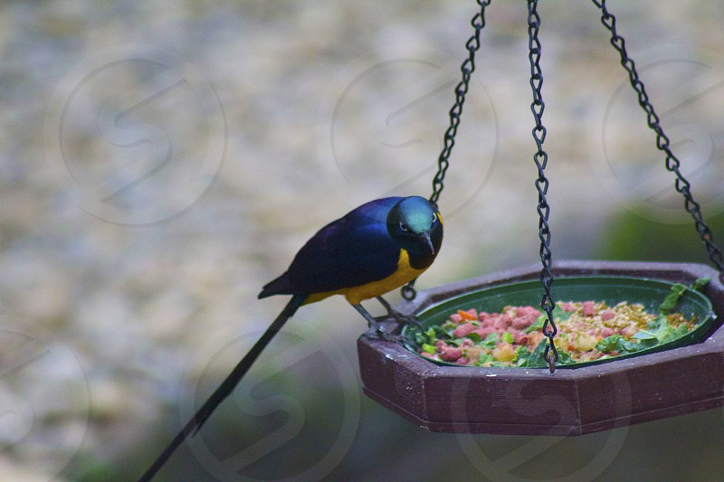 Golden breasted starling photo