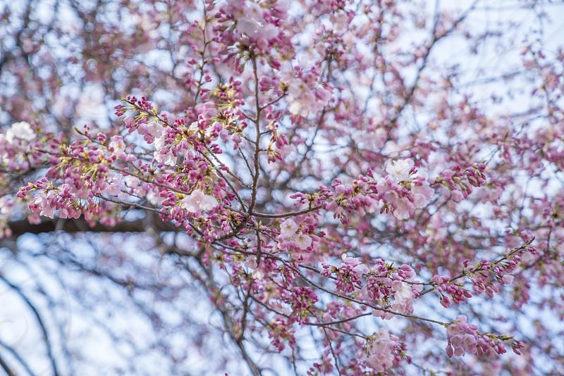 Shinjuku Tokyo Japan - April 02 2017: Shinjuku Gyoen National Park during early cherry blossom (sakura hanami). It is one of the most famous place to view sakura flower photo