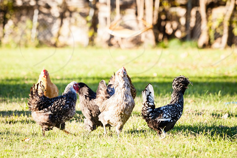 A bunch of hens running on the farm photo