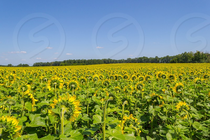 A large number of ripened sunflowers which are turned backwards with bright yellow petals and large green leaves on a field for growing agricultural plants and a blue sky on a clear autumn day photo