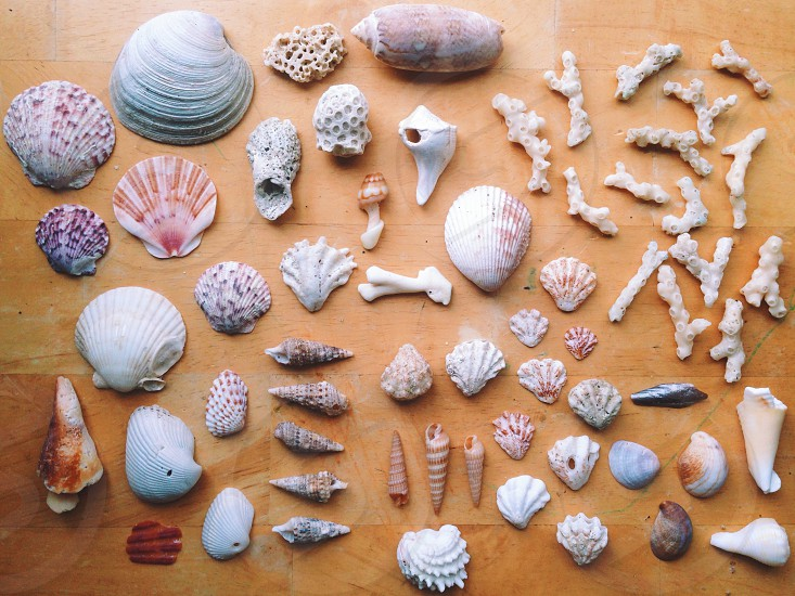 Seashells collected from Florida beaches photo