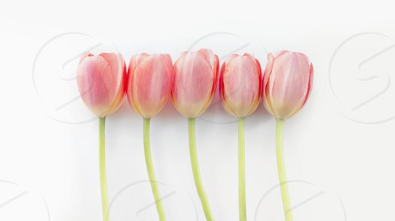 Row of pretty orange tulips. photo