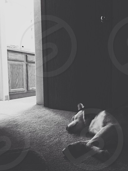 husky dog sleeping near door photo