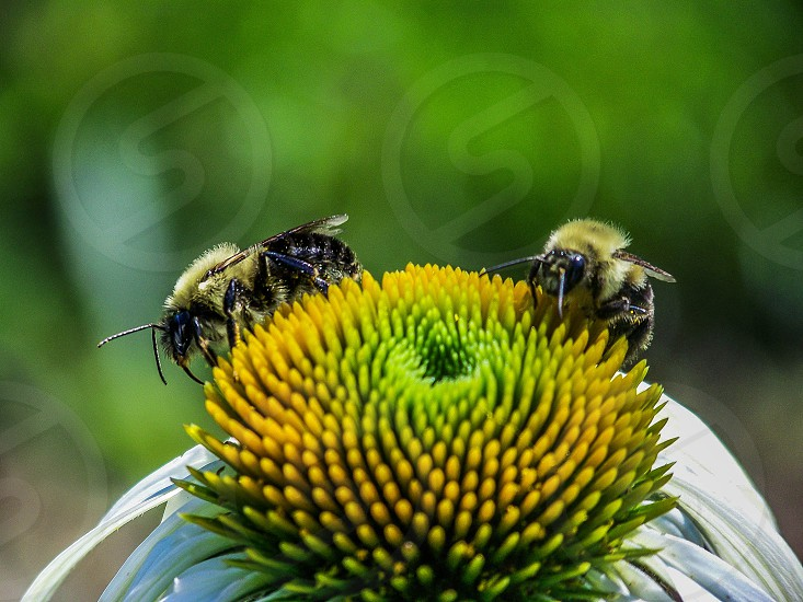 bees on green and yellow flower photo