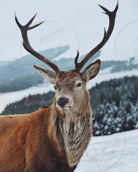 Majestic red deer showing off his beauty in front of a winter scenery in Glen coe Scotland photo