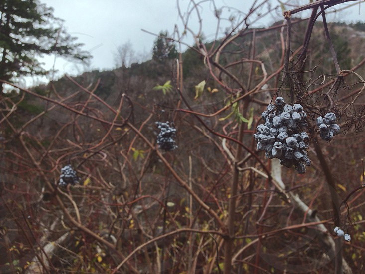 black berries on dry branches photo