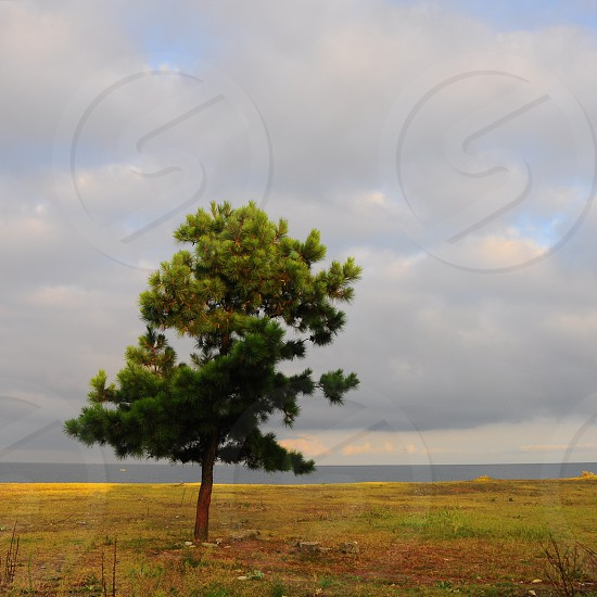 green pine tree photo