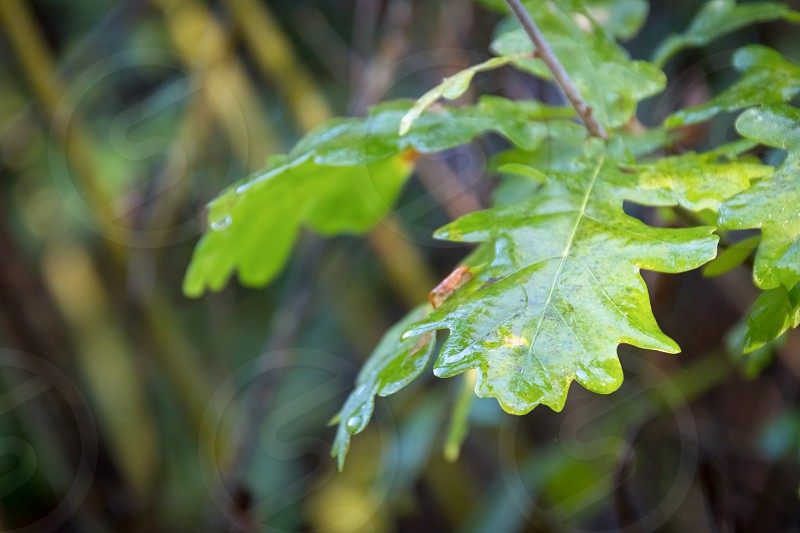 Shiny wet Oak tree leaves from early morning dew photo