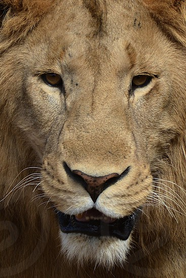 Lion Portrait - Tanzania photo