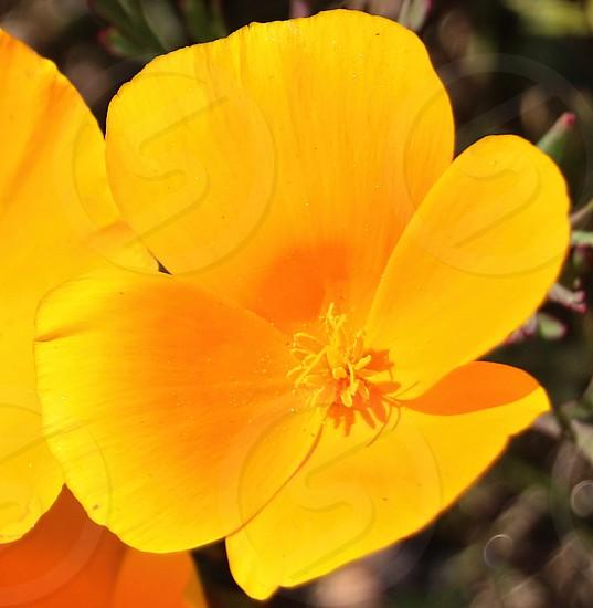 Close up macro of a golden California poppy photo