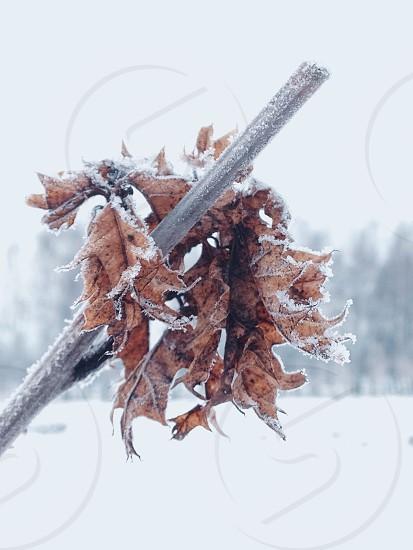 Frozen leaves  photo