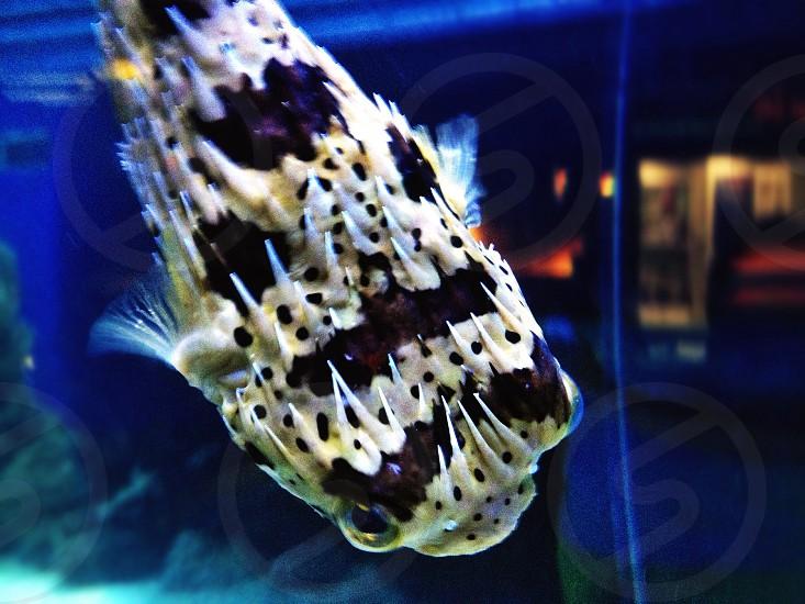 Polka Dot Pufferfish Tampa Florida photo