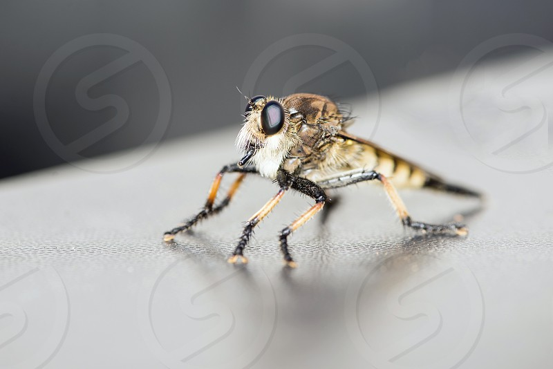 Robber fly sunbathing on our truck. photo