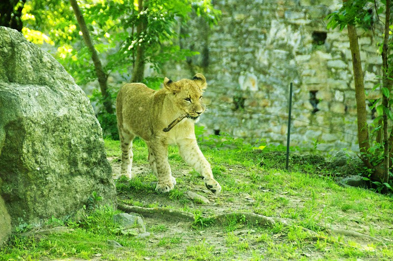 lion walking on grass photo
