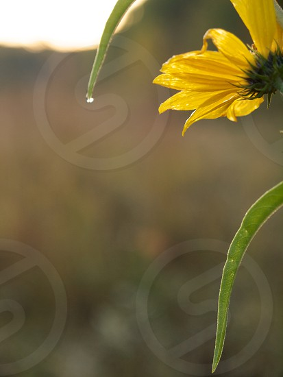 Yellow flower. Dew drop. Curve. Abstract.  photo