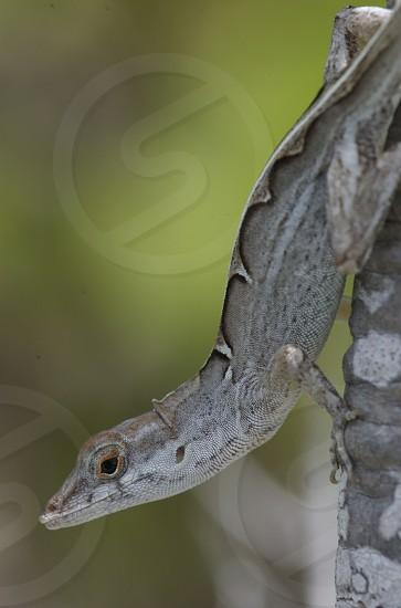 Anolis sagrei lizard Exuma Bahamas photo