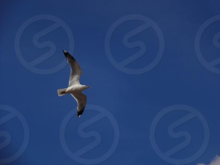 seagull sky bird photo