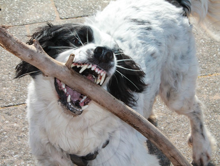 Chewing on a stick photo