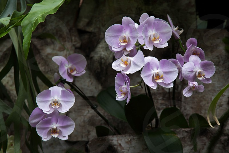 Orchid in Singapore Botannical Gardens photo