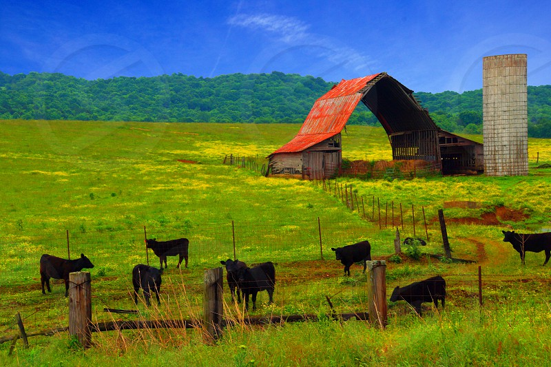 black cows on grass lands photo