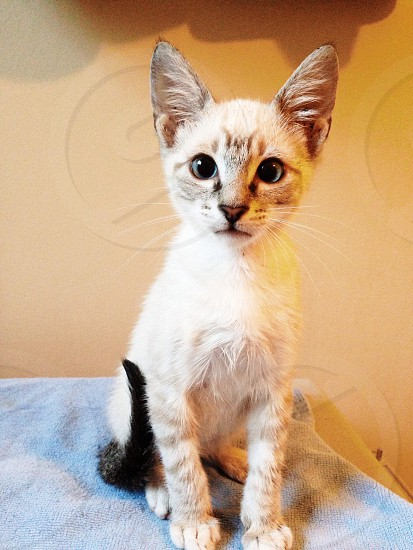 White Striped Cat Sitting on Blue Towel photo