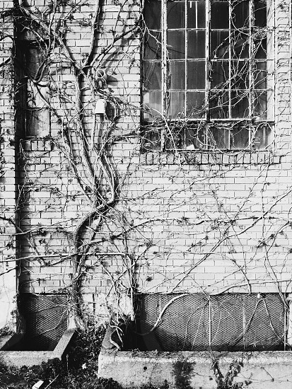 black white photograph of ivy-covered brick building with rectangular window photo