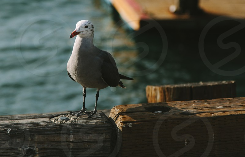 Seagull in San Diego photo