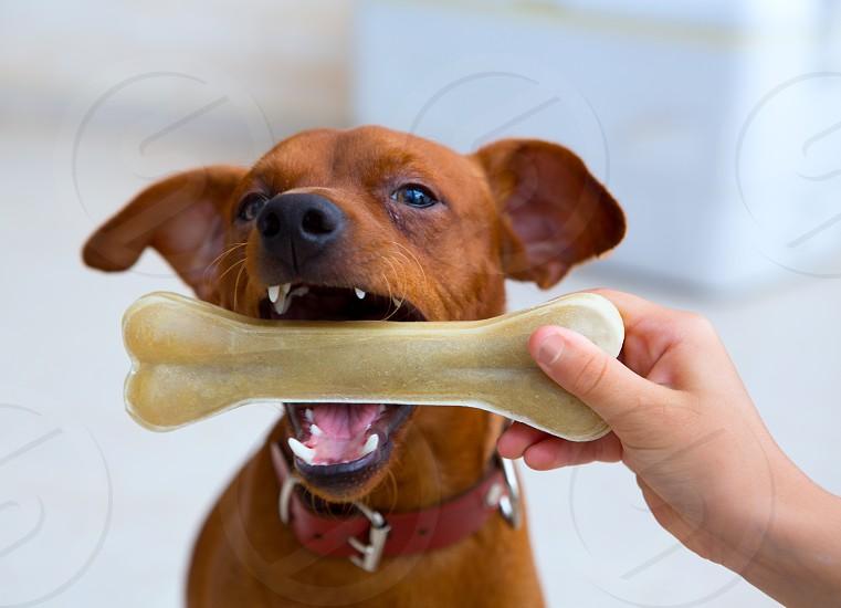 brown pinscher dog playing with bone with children hand photo