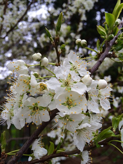 Spring blooms fruit tree plum blossoms green white nature flowers photo