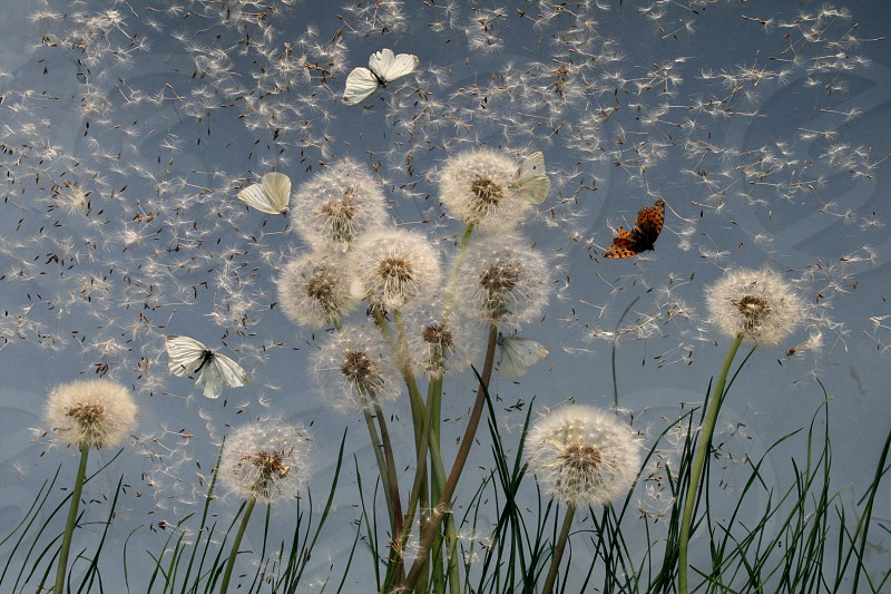 Dandelions and butterflies photo