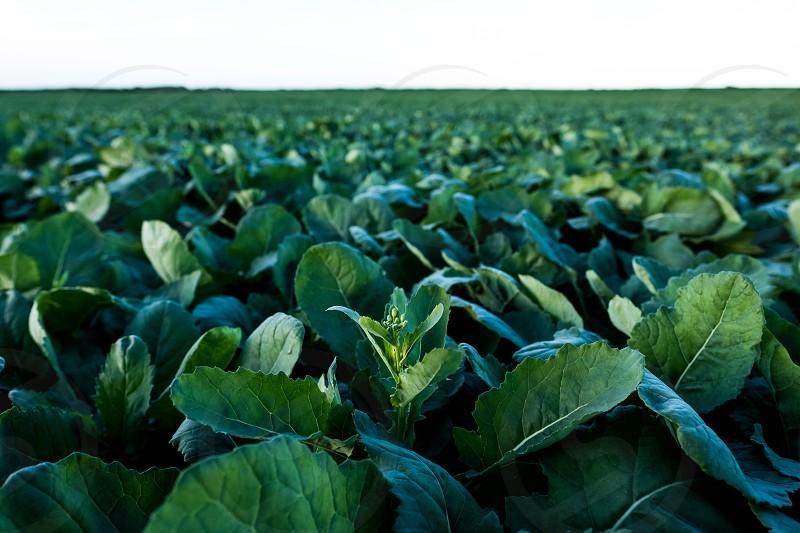 Canola crop in Peace Region. photo