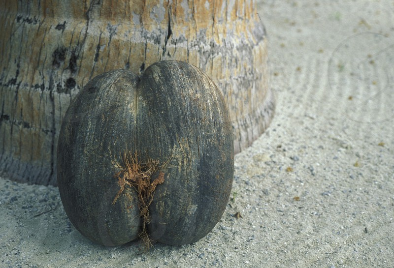 a coco de mer nut on the Island Praslin of the seychelles islands in the indian ocean photo