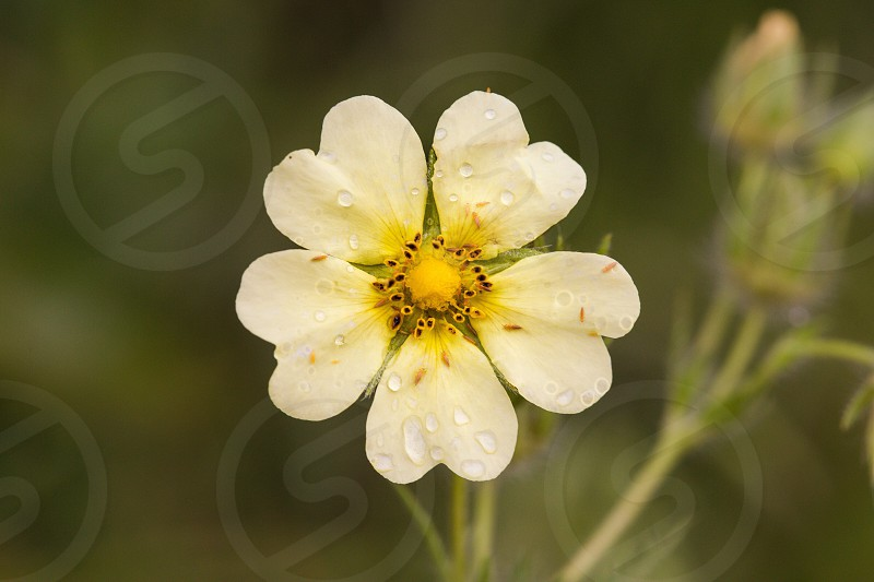 Flower yellow dew water macro field plant petal flora botanical photo