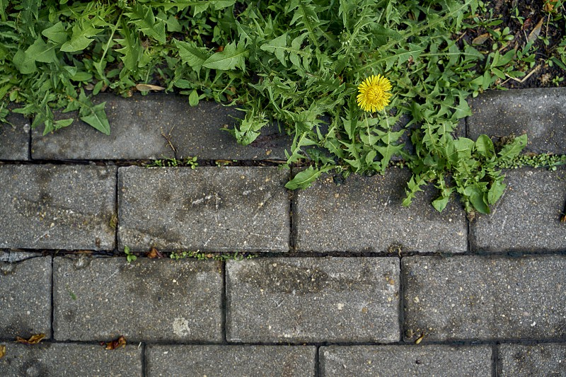 Dandelion and grass growing along the pavement                              photo