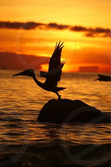 AMERICA SOUTH AMERICA LATIN AMERICA CARIBBEAN CARIBBEAN SEA OCEAN SEA COAST BEACH VENEZUELA LOS ROQUES PELICAN PELIKAN ANIMAL BIRD SEA BIRD SUNSET EVENING photo