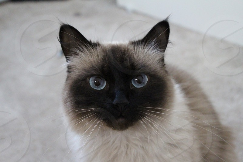 Seal Point Ragdoll cat  photo