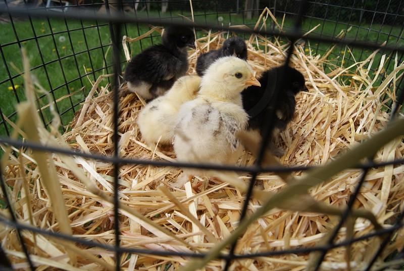 Chickens chicks hay farm urban farming farm babies feathers  photo