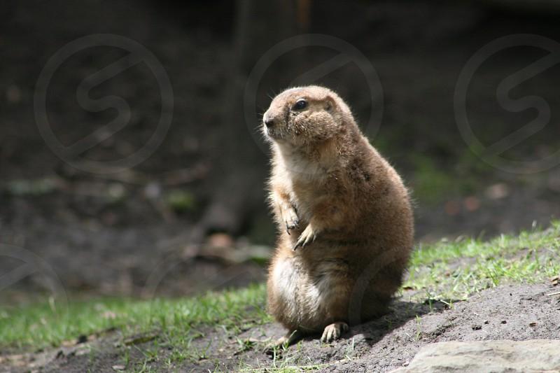 Alberta Prairie Dog sitting. photo