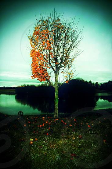 last of autumn leaves falling half naked tree bare twigs orange loch lonely tree photo