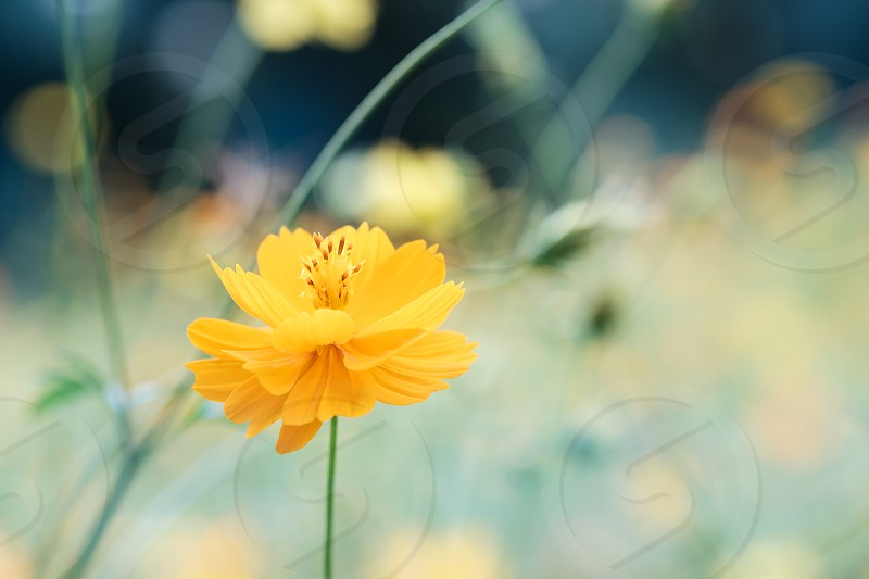 field of blooming yellow cosmos flower in the garden Thailand. photo