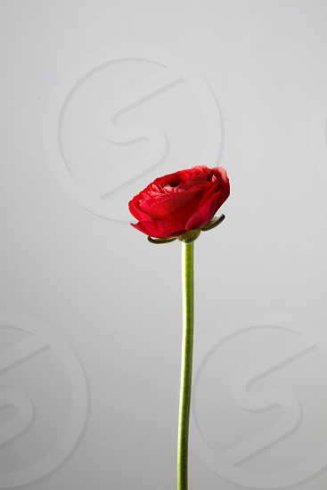 one red ranunculus flower on a gray backgroundgreeting card photo