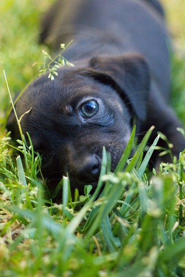 black short haired large dog in a grass photo