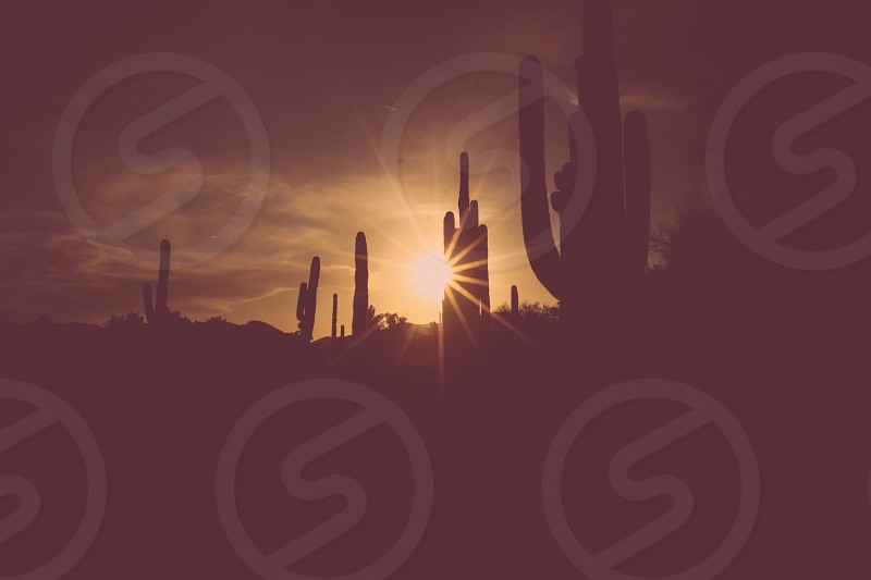 saguaro cacti in the sunset photo